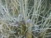 austreibende Weiden